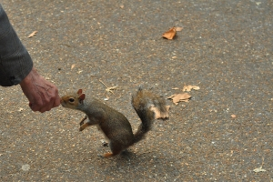 Squirrel being hand fed by an old man in St James Park