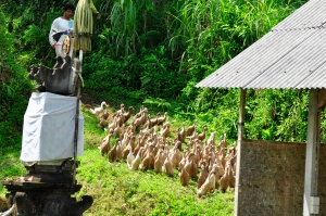 A man herds his ducks down from the paddy fields