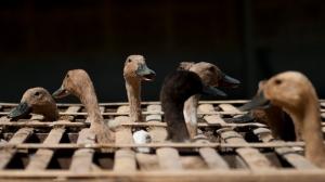 Ducks ready for market