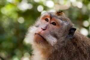 Monkey in Ubud's Monley Forest