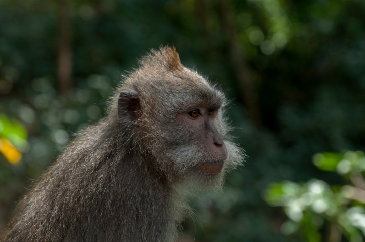 Balinese Long Tailed Macaque
