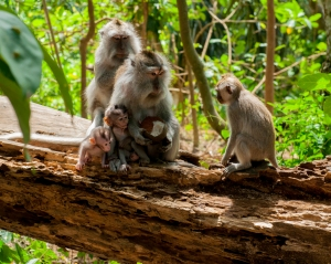 Family of Balinese Long Tailed Macaques in Ubud's Monkey Forest