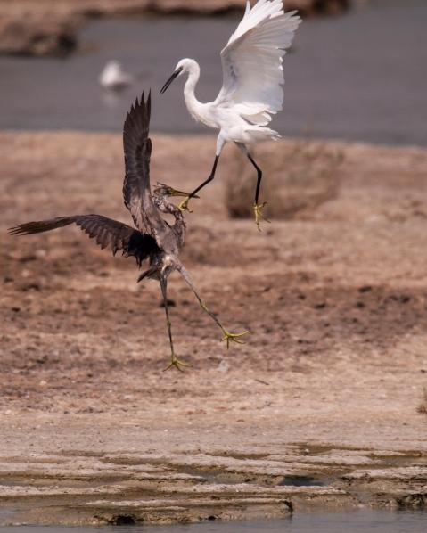 me-ae-dxb_20150927_180-al-khor-wetland-crane-dance