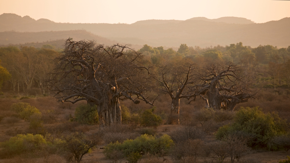 Baobabs in the setting sun