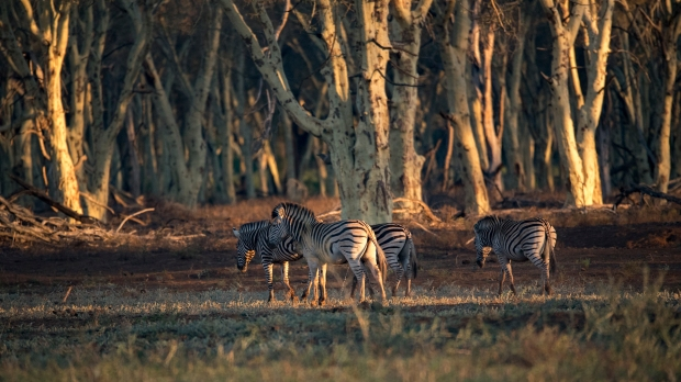 Zebra in the fever trees
